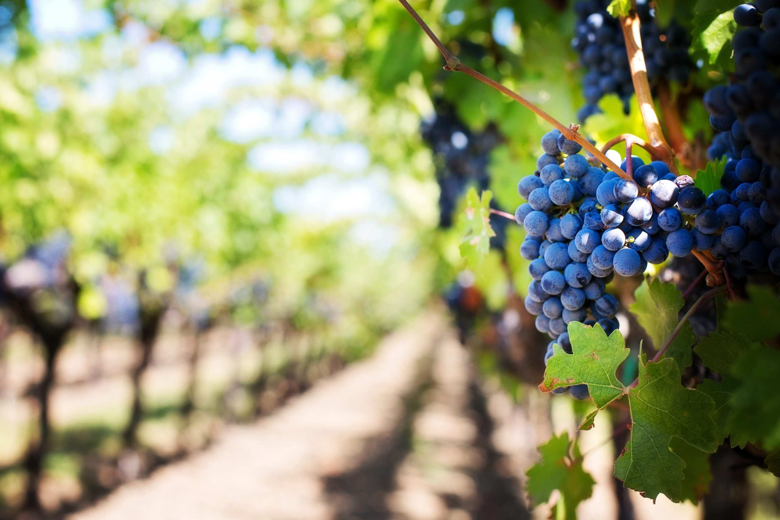vineyard-storywine-banner
